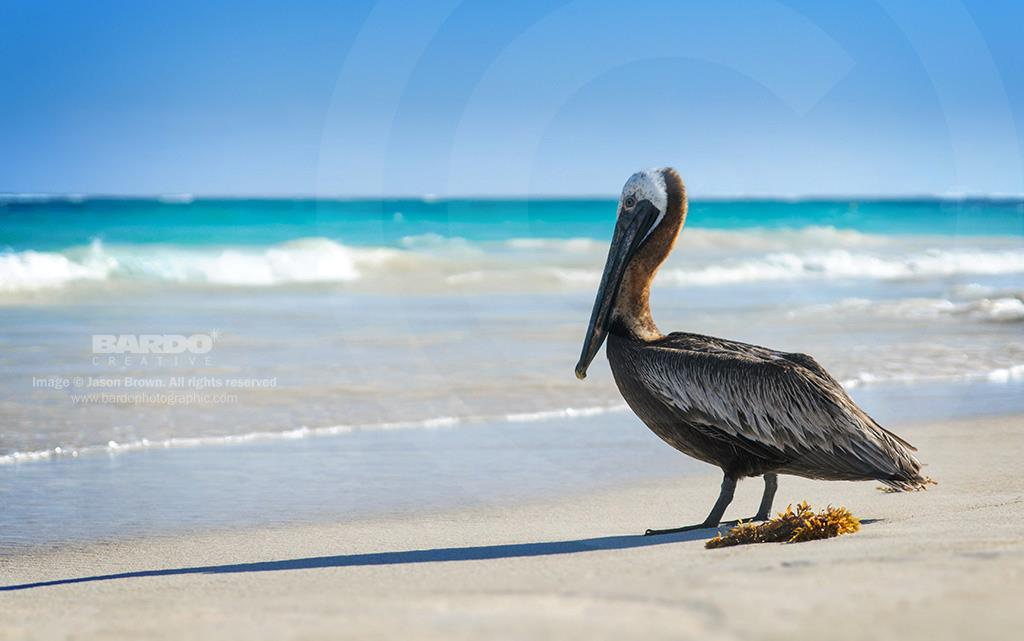 Pelican on Beach in Tulum Mexico, home to Cave Divers